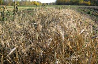黒大麦の種 *籾殻無し