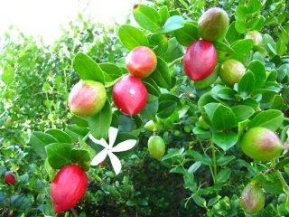 ナタールプラム(大花カリッサ)の種
