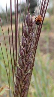 紫大麦(二条)の種 *籾殻無し