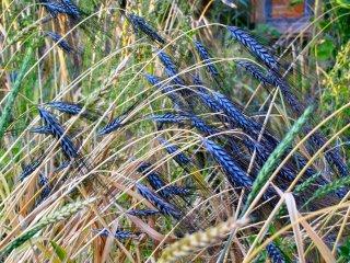 Utrecht Blue Wheat(普通系コムギ)の種: 籾殻付き