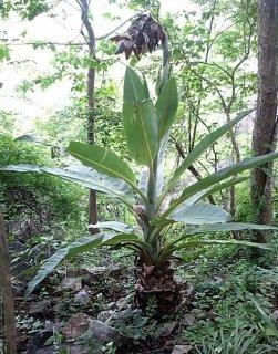 オルファンバナナの種