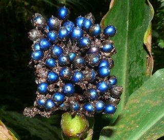 マーブルベリー(ポリア・コンデンサータ)の種