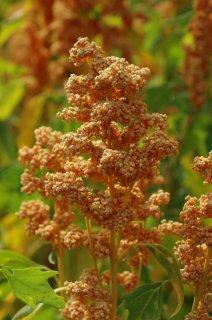 ゴールデンバレーキヌアの種