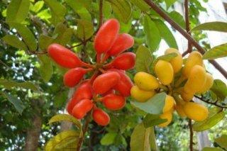 ウバリア・ルファ(スイギュウノチチ、ノムックワイ)の種