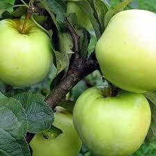 アントーノフカアップルの種