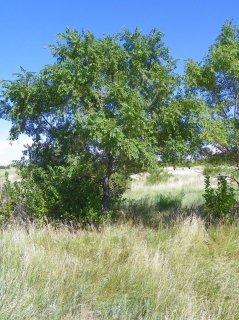 シベリアンヘーゼルナッツ(シベリアハシバミ)の種