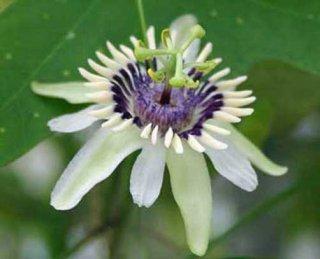 コリンバークスパッションフルーツの種