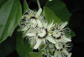 ブラックグランディラパッションフルーツの種