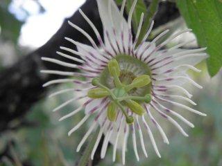 ブライオニオイデスパッションフルーツの種