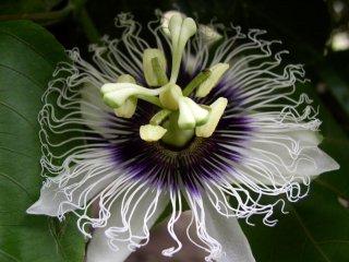 フラヴィカルバパッションフルーツ(キミトケイソウ)の種