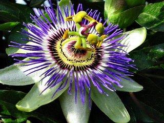 モリフォリアパッションフルーツの種