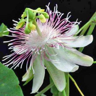 レスティクラタパッションフルーツの種