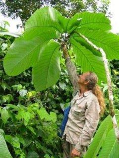 ツリーパッションフルーツの種
