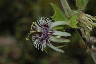 フロリバンダパッションフルーツ(バットウィング)の種