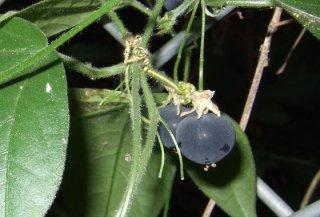 コルクパッションフルーツ(クロミノトケイソウ)の種