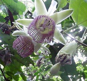ティリフォリアパッションフルーツの種