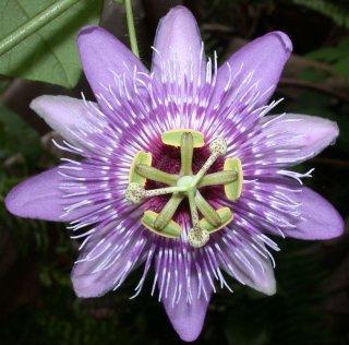 メニスペルミフォリアパッションフルーツの種