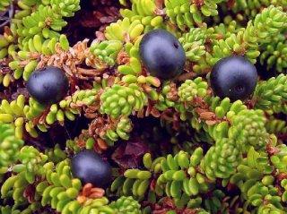 セイヨウガンコウラン(クローベリー)の種