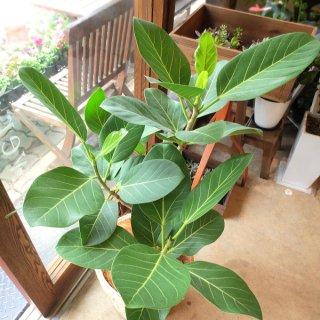 ベンガル菩提樹(バンヤンジュ)の種