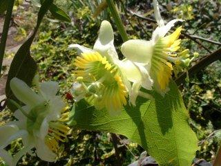 バイフロラパッションフルーツの種