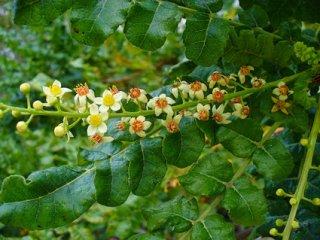 ボスウェリア・セラータ(フランキンセンスの木)の種