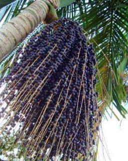 アサイー(低木型)の種