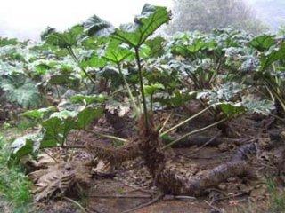 グンネラ・ブラクテアタの種