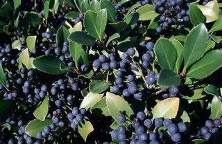 ドライランドブルーベリーの種
