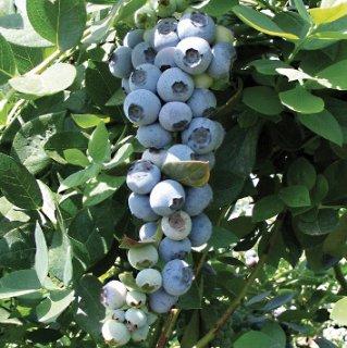 サザンハイブッシュブルーベリーの種
