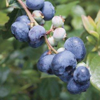 ノーザンハイブッシュブルーベリーの種