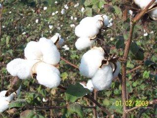ホワイトコットン(Buranda 1)の種
