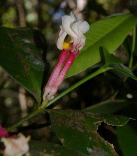 タベルナエモンタナ・アンデュラータの種