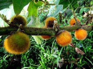 タランブロ(フェロックスナス)の種