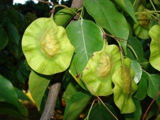 インドカリン、インドシタンの種