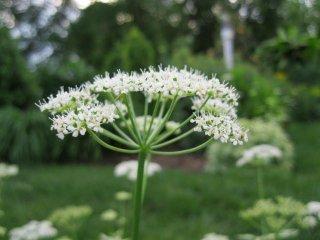 ドクゼリモドキ(ホワイトレースフラワー、アンミマユス)の種