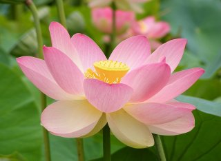 ハス(Sacred Lotus、ピンク)の種