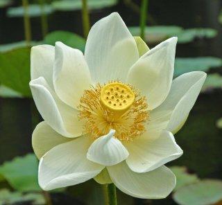 ハス(Sacred Lotus、ホワイト)の種