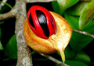 ナツメグ(ニクズク)の種