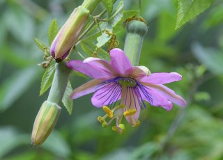 ピンナティスティプラパッションフルーツの種