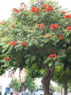 カエンボク(アフリカンチューリップツリー)の種