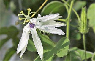パルメリパッションフルーツの種