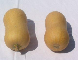 ポンカ(ミニバターナッツかぼちゃ)の種