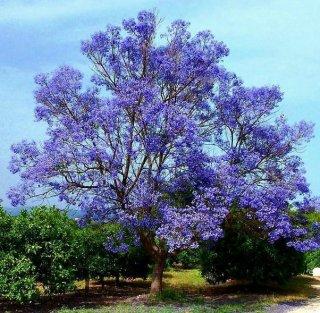 ジャカランダ・ミモシフォリア(キリモドキ)の種