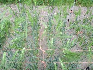 マッサンNo1ハダカ大麦(6条)の種子 *籾殻無し