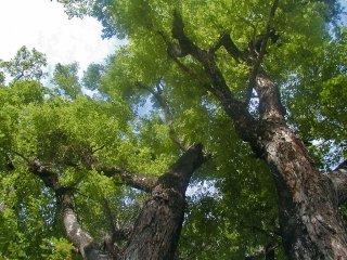 ビルマカリン(パドウク)の種