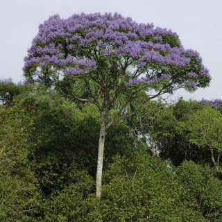ジャカランダ・コパイアの種