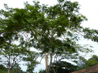 フサマメノキ(ニータツリー)の種