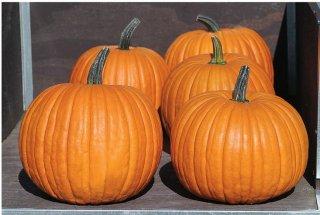 ハロウィンかぼちゃ(Charisma)の種 *F1