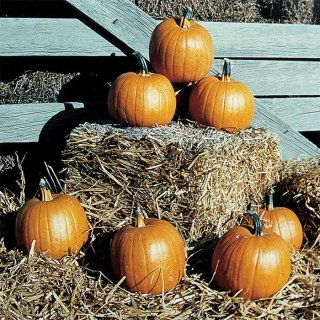 ハロウィンかぼちゃ(Autumn Gold)の種 *F1