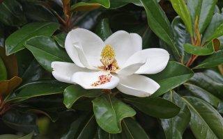 タイサンボク(マグノリア・グランディフローラ、サザンマグノリア)の種